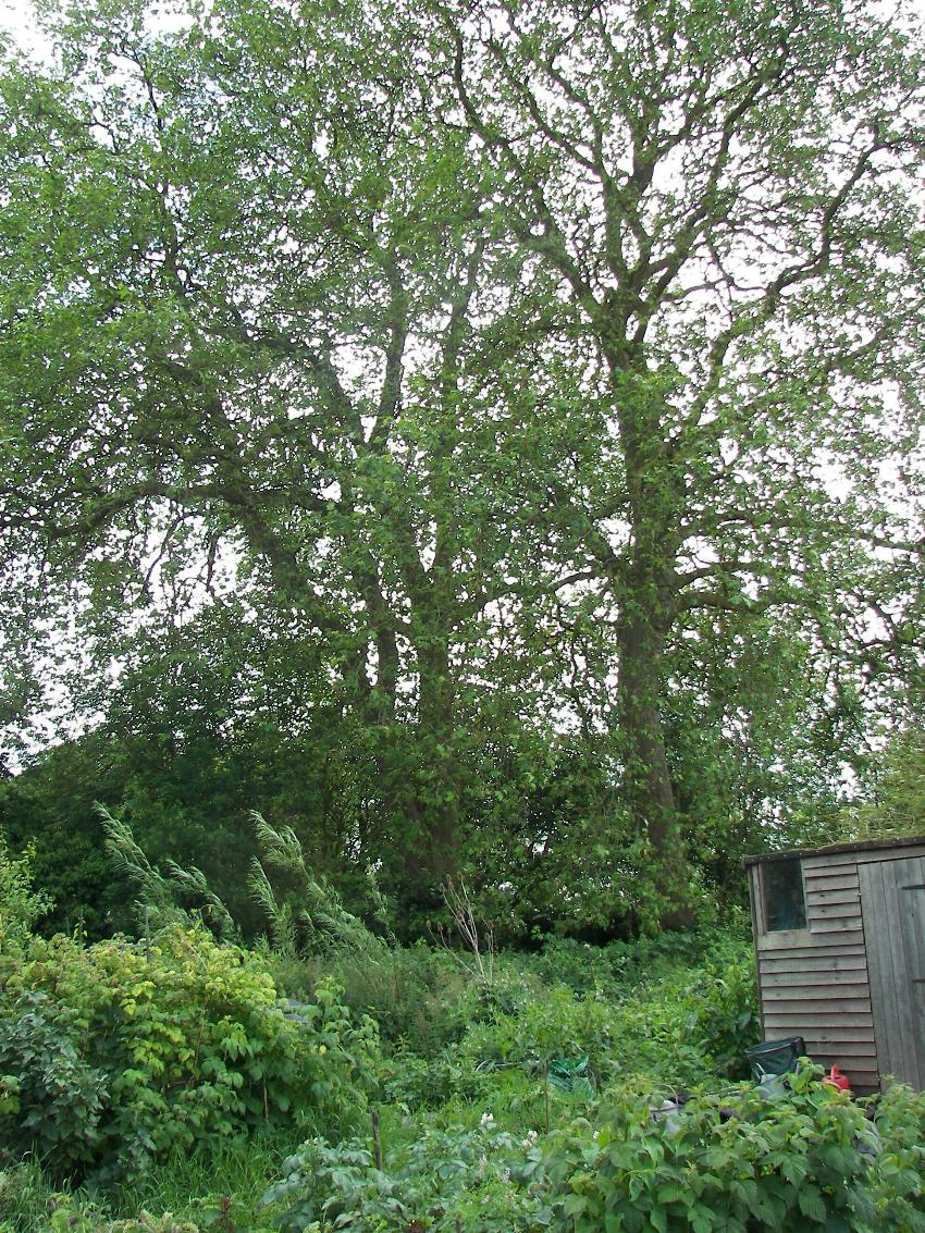 1. Spragglesea Mead Plane Trees (from plane trees to shed)